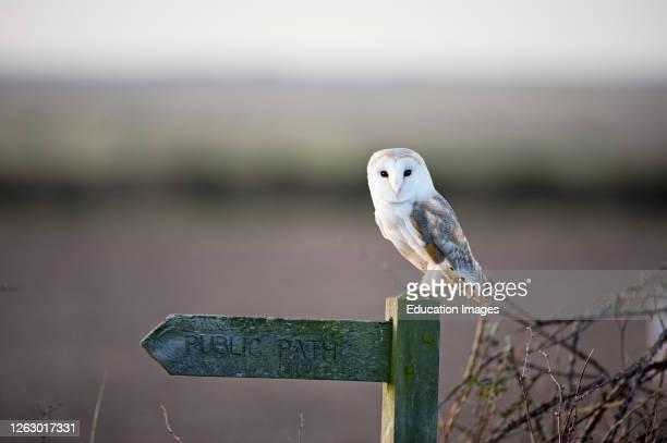 Barn Owl Tyto alba roosting on footpath signpost North Norfolk winter