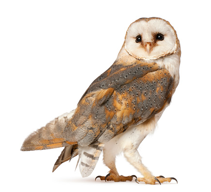 Barn Owl, Tyto alba, standing in front of white background 471415895