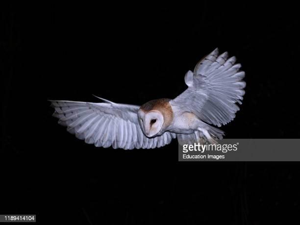 Barn Owl Tyto alba wild female North Norfolk winter
