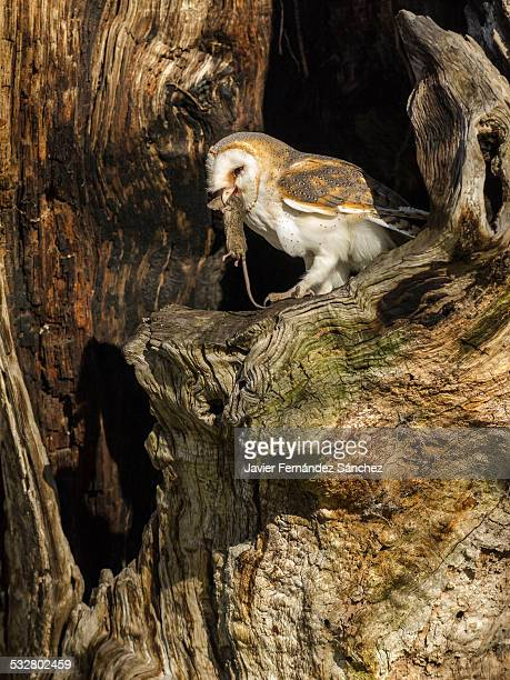 Barn Owl with mouse in the trunk of a chestnut mil