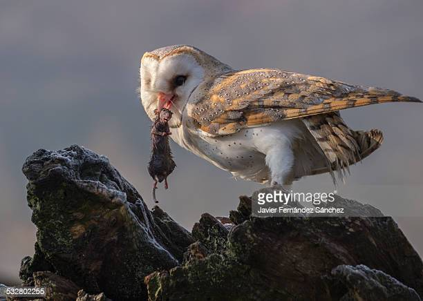 Barn Owl with the mouse