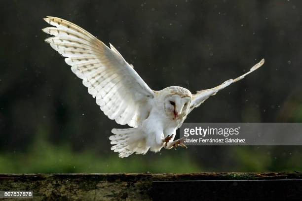 a barn owl (tyto alba) with wings spread out to perch on the wooden fence of a farm. - chouette blanche photos et images de collection