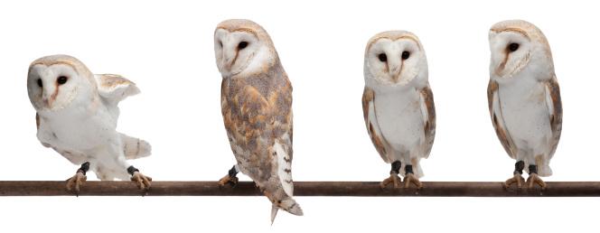 Barn owls 155432673