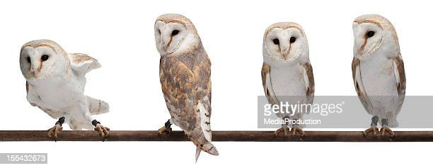 grange owls - chouette blanche photos et images de collection
