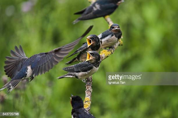barn swallow chicks (hirundo rustica) waiting to be fed - ignatius tan stock photos and pictures