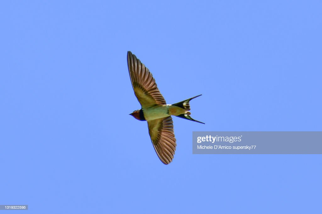 Barn swallow (Hirundo rustica) flying in the blue sky : Foto stock