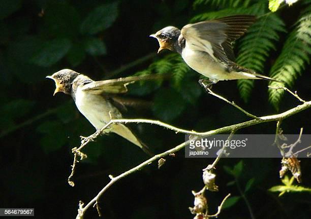Barn Swallow. Hirundo rústica