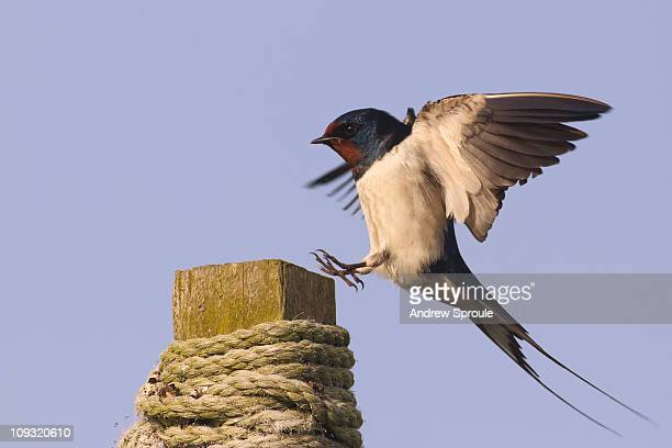 barn swallow (hirundo rustica) landing - swallow bird stock pictures, royalty-free photos & images