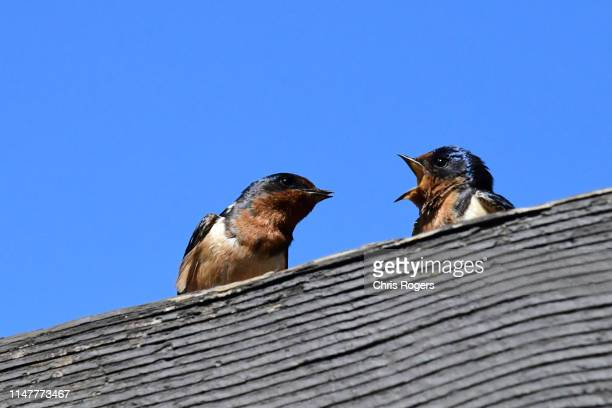barn swallow - animal behavior stock pictures, royalty-free photos & images