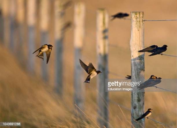 Barn Swallows, Hirundo rustica, migrants gathering on fence Cley Norfolk.