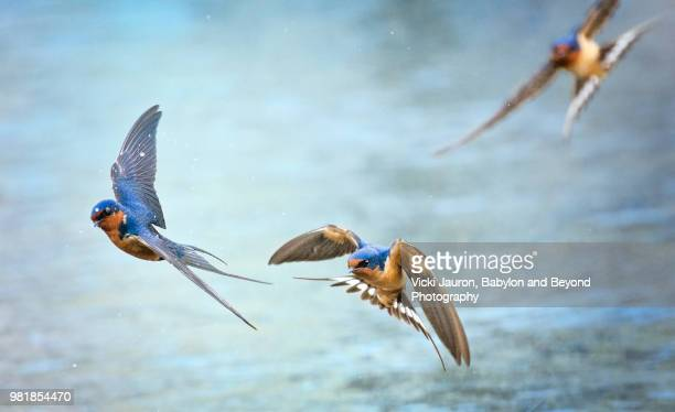 barn swallows in flight against blue water - bird stock pictures, royalty-free photos & images