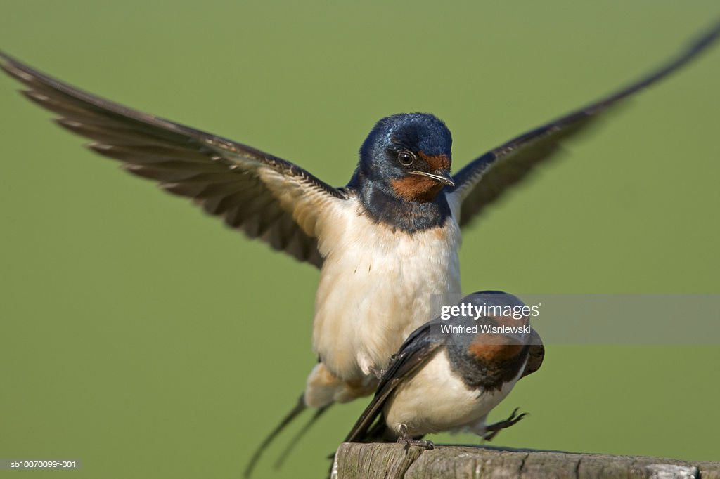 Barn Swallows Mating Stock Photo - Getty Images