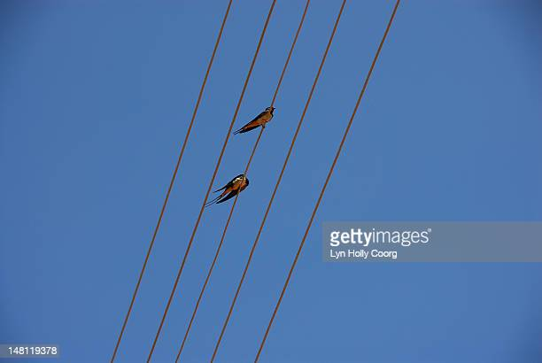 barn swallows (hirundo rustica) on overhead  wires - lyn holly coorg stock pictures, royalty-free photos & images
