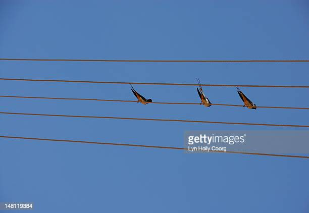 barn swallows (hirundo rustica) on wires - lyn holly coorg stock pictures, royalty-free photos & images