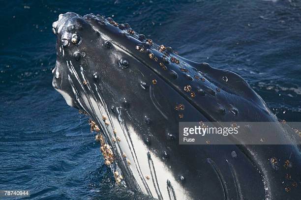barnacle covered mouth of humpback whale - barnacle stock pictures, royalty-free photos & images
