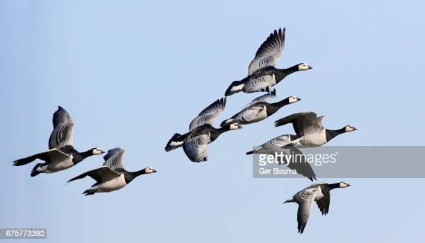 Barnacle Geese Flyby