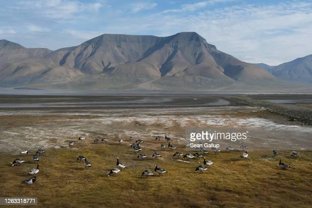 Barnacle geese gather in Adventdalen valley as mountains behind stand devoid of snow during a summer heat wave on Svalbard archipelago on July 29...