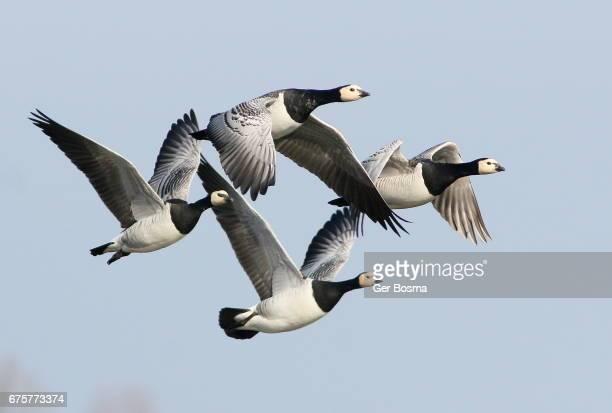 Barnacle Goose Quartet