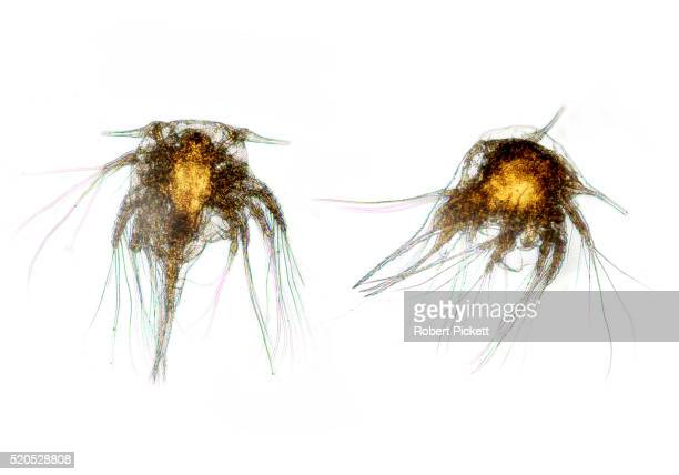 barnacle larvae, nauplius sp. microscopic, two, pair, white background, cut out, white light microscope - barnacle stock pictures, royalty-free photos & images