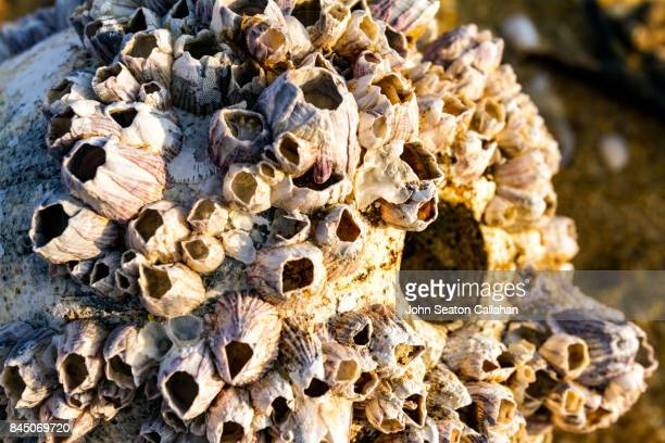 barnacles on hainan island - barnacle stock pictures, royalty-free photos & images