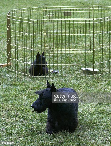 Barney the First Family's longtime Scottish Terrier keeps near his new friend Mrs Beazley who sits in a pen on the South Lawn of the White House 10...
