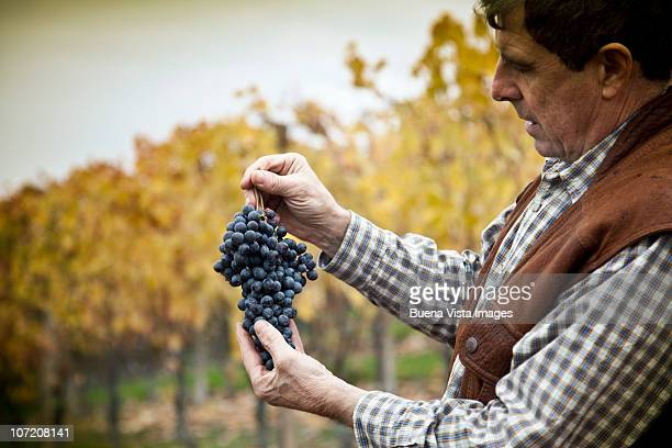 barolo  grape harvest - grape harvest stock pictures, royalty-free photos & images