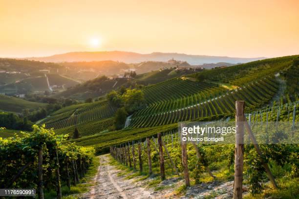 barolo vineyards at sunset, langhe wine region, italy - weinberg stock-fotos und bilder