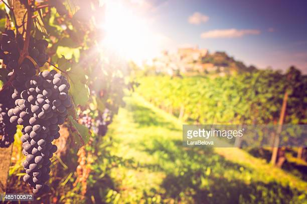 barolo vineyards - piedmont italy stock pictures, royalty-free photos & images