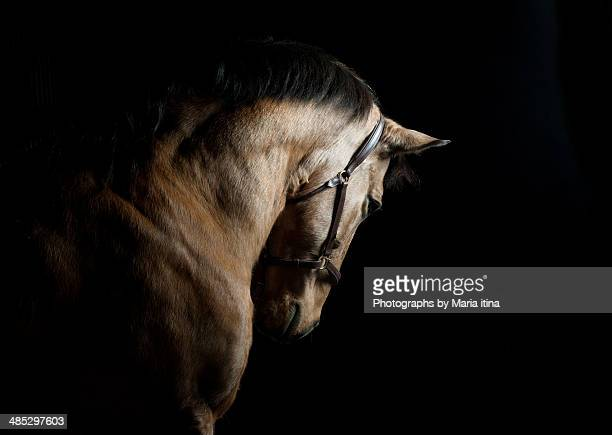 baroque horse - cavalo família do cavalo - fotografias e filmes do acervo
