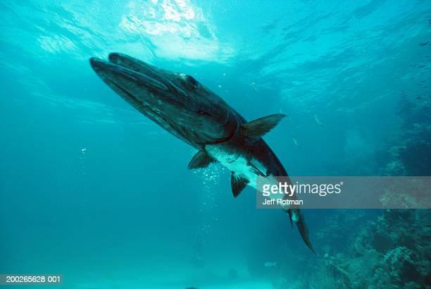barracuda (sphyraenidae), close-up, underwater view - barracuda foto e immagini stock