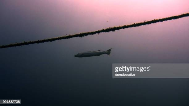 barracuda, dauin philippines - negros oriental stock pictures, royalty-free photos & images