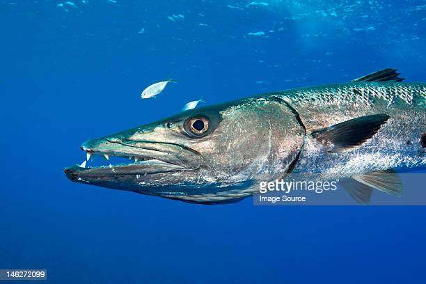 barracuda gets defensive - barracuda foto e immagini stock