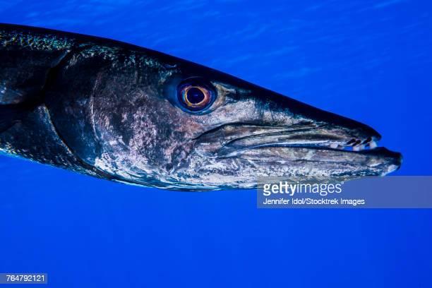A barracuda in Grand Cayman, Cayman Islands.