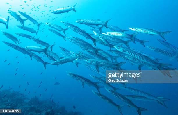 barracuda school of fish - barracuda foto e immagini stock