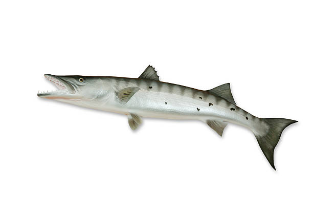 Barracuda With Clipping Path Wall Art