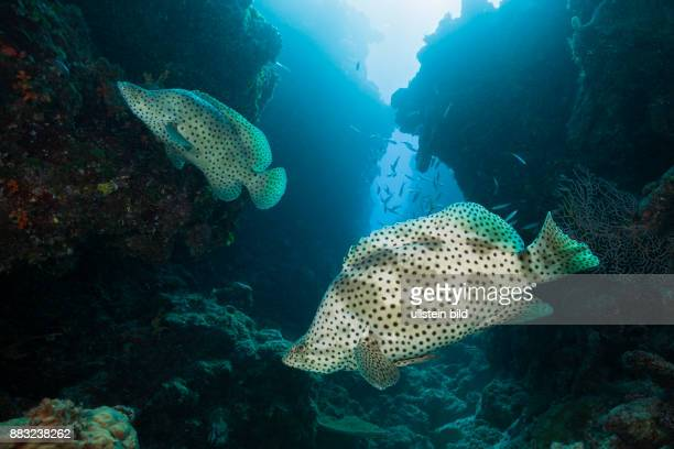 Barramundi Cod Cromileptes altivelis Great Barrier Reef Australia