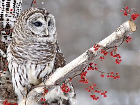 Barred Owl and Red Berries 92404701