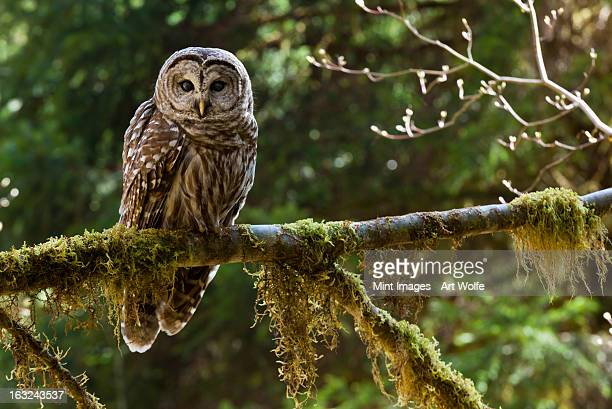 barred owl, olympic national park, washington, usa - olympic park stock pictures, royalty-free photos & images