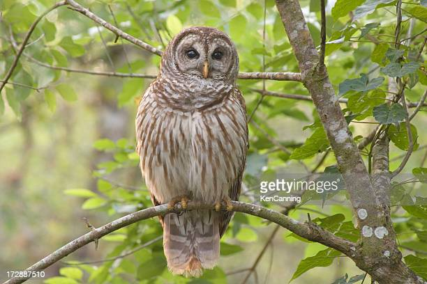 Barred Owl Perched in Forest