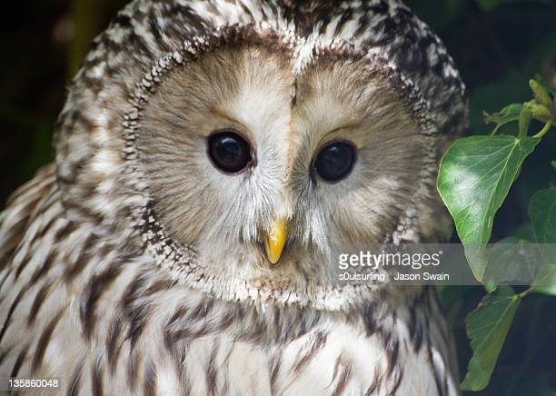 barred owl - s0ulsurfing stock pictures, royalty-free photos & images