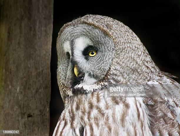 barred owl - s0ulsurfing ストックフォトと画像