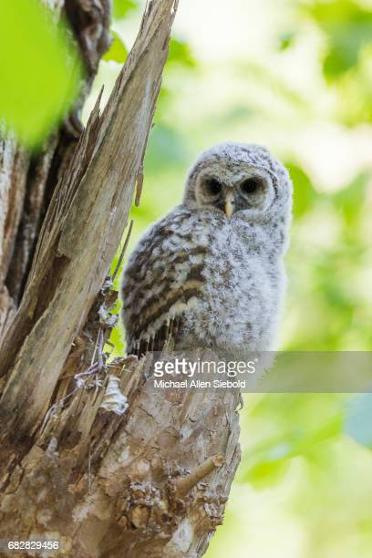 Barred Owlet on the Edge of its Nest