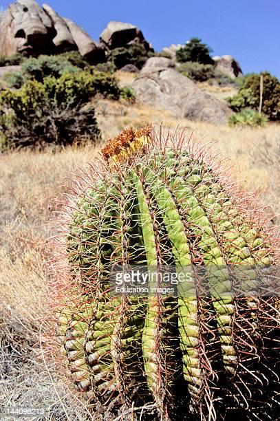 Barrel Cactus Las Cruces New Mexico Desert
