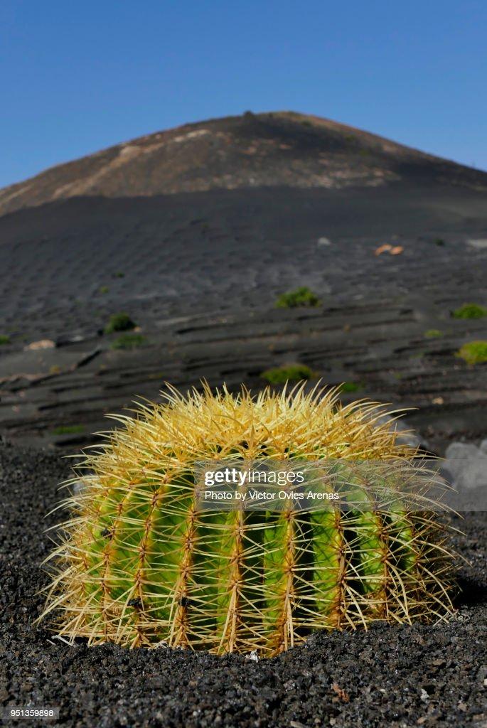 Barrel Cactus (Echinocactus grusonii) stands out in the dark black lava landscape of La Geria in Lanzarote, Canary Islands, Spain : Foto de stock