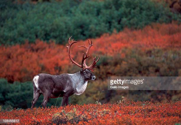 Barren ground caribou bull (Rangifer arcticus) on tundra in September, Denali National Park, Alaska, USA