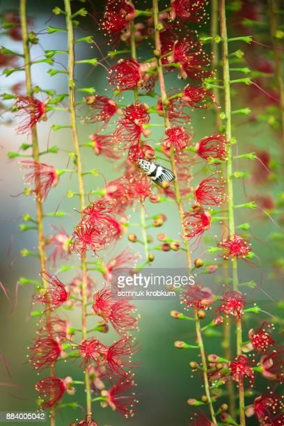 Barringtonia acutangula flower