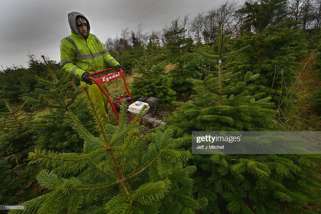 Barry Smith cuts Christmas trees at Garrocher Tree Farm on November 10, 2012 in Creetown, Scotland. The tree grower, won the coveted title of Champion Christmas Tree Grower 2012 at the 14th Annual British Christmas Tree Growers' Association and will now deliver a sixteen foot six inch tree to take up residence outside 10 Downing Street.