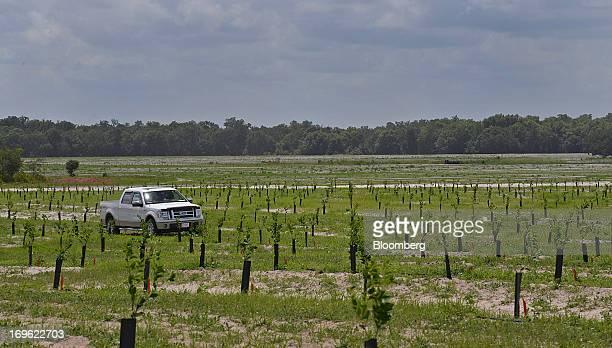 Bart Plymale coowner of Twenty Twenty Groves Inc inspects recently planted Hamlin orange trees at the Twenty Twenty Groves Inc location in Zolfo...