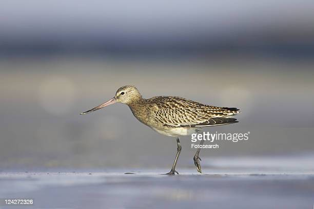 Bar-Tailed Godwit (Limosa lapponica) walking while foraging for food on beach, back foot up. Gott Bay, Argyll, Scotland, UK