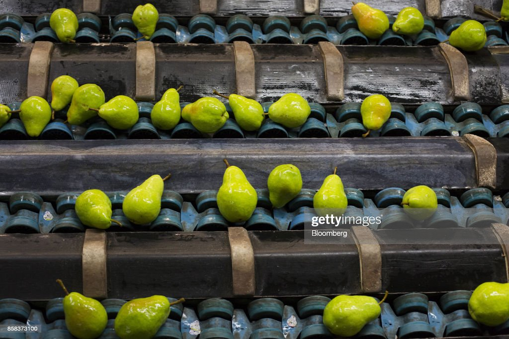 Bartlett pears move along a conveyor at the Stemilt Growers packing facility in preparation for shipment in Wenatchee, Washington, U.S., on Wednesday, Sept. 20, 2017. Smoke from wildfires in the Cascade Mountains troubled pear pickers in the Wenatchee Valley and Northcentral Washington in mid September. However it benefits the fruit by cooling down temperatures and tends to delay maturity. Photographer: David Ryder/Bloomberg via Getty Images